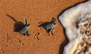 1 or 2 Nights for Two with Breakfast, Turtle Viewing and Turtle Visitor Centre Entry at Ras Al Jinz Turtle Reserve Oman - Dubaisavers